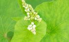 【自社栽培の蕎麦】秋蕎麦が順調に生育しています!