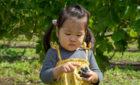 【ワイン用ブドウ畑】収穫最盛期♪