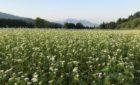 当宿の蕎麦農園風景♬ 宿泊は部屋数を半分にして営業中、蕎麦屋は予約制にて営業中です。